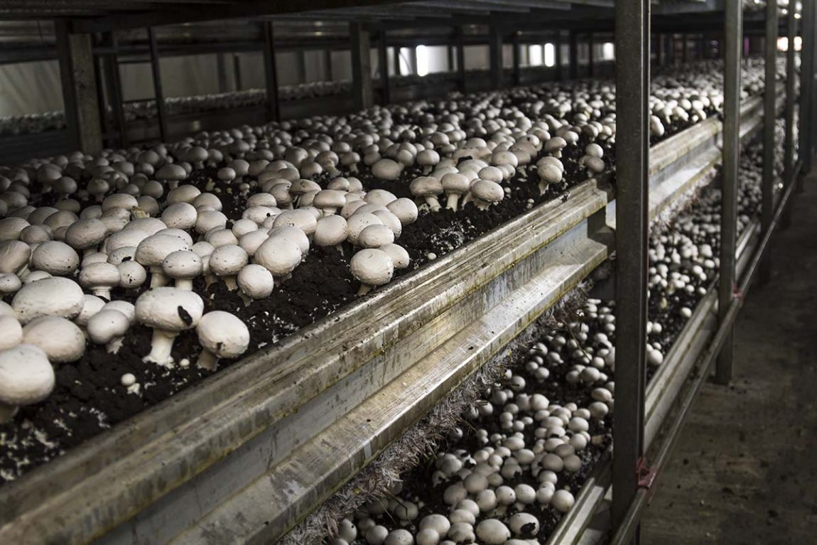 Mushrooms in greenhouse. Photo by Videologia