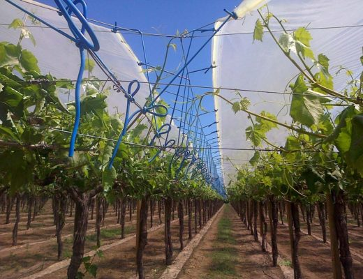 Cultivating grapes under cover