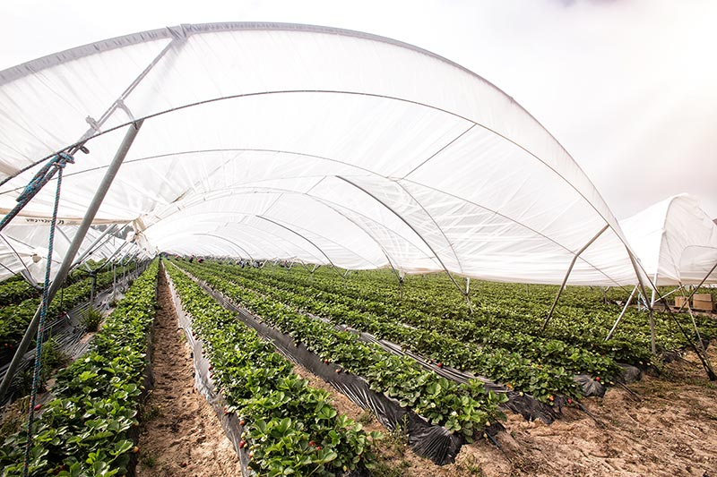 Growing strawberries under cover