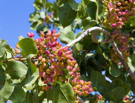 The original Pistachios from Aegina Island Greece Photo By E. Panagopoulos