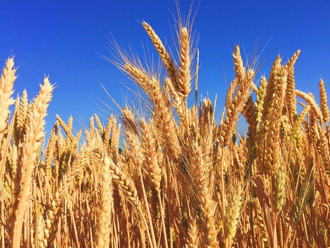 """Barley as the first official """"currency"""" in the world. Photo by Melissa Askew on Unsplash"""