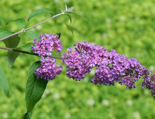 How to avoid a common weed like the Butterfly Bush