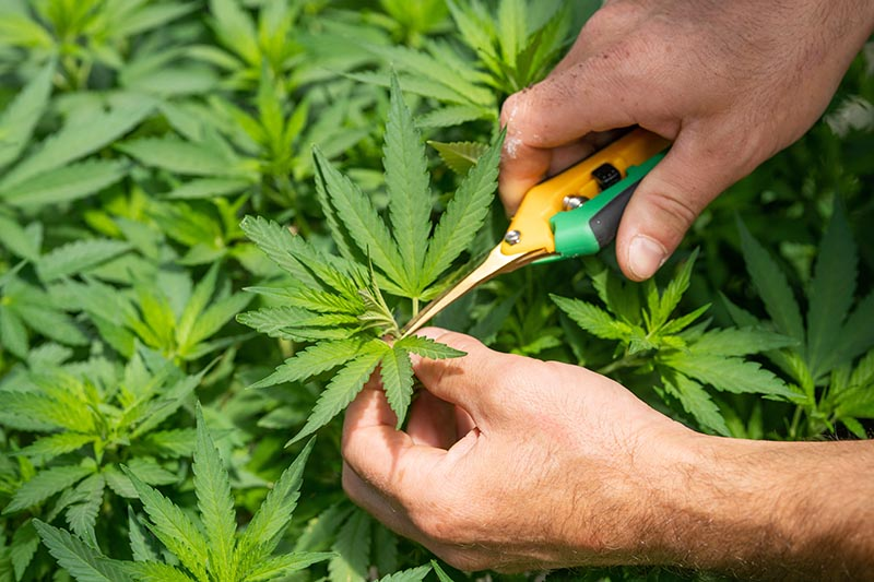 Control pest in cannabis crops. Photo by CRYSTALWEED cannabis on Unsplash