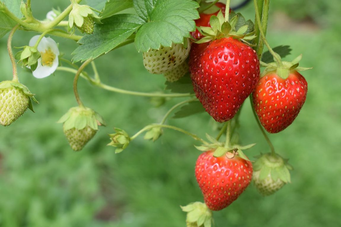 Control weeds in strawberries crops.Photo by Oliver Hale on Unsplash