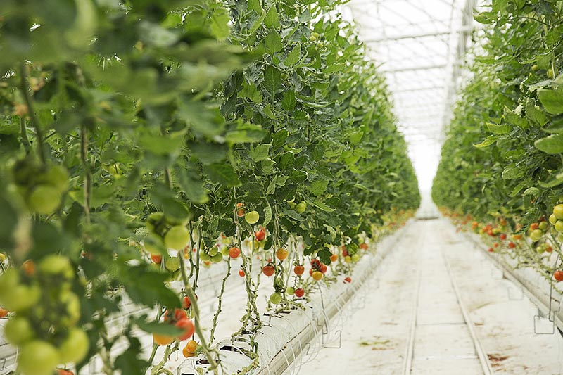 Covering tomatoes plants