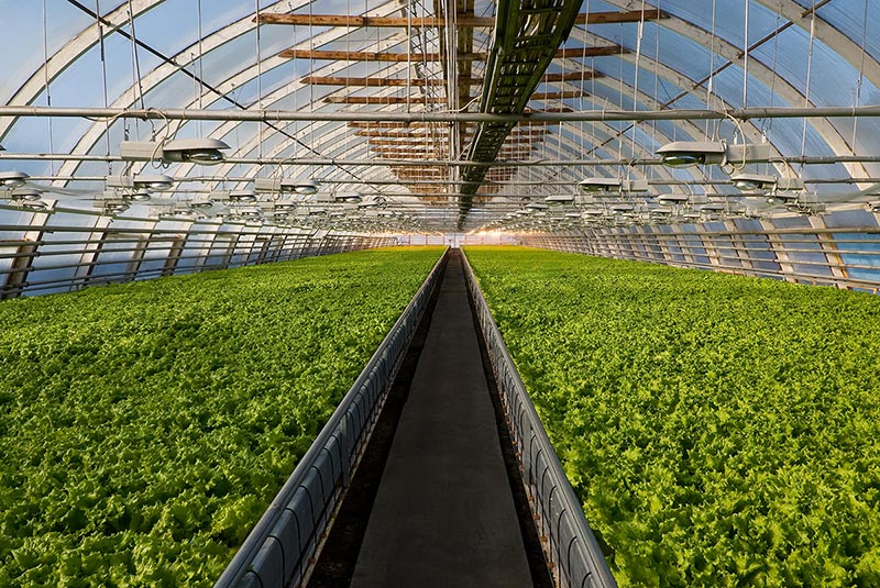 Growing lettuce in winter with high tunnels