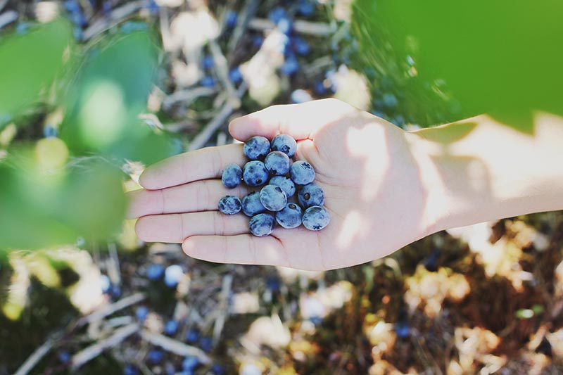Export of blueberries from Mexico to the United States. Photo by Farsai Chaikulngamdee on Unsplash