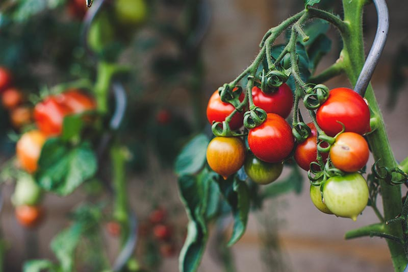 Export of tomatoes from Mexico to the United States. Photo by Markus Spiske on Unsplash