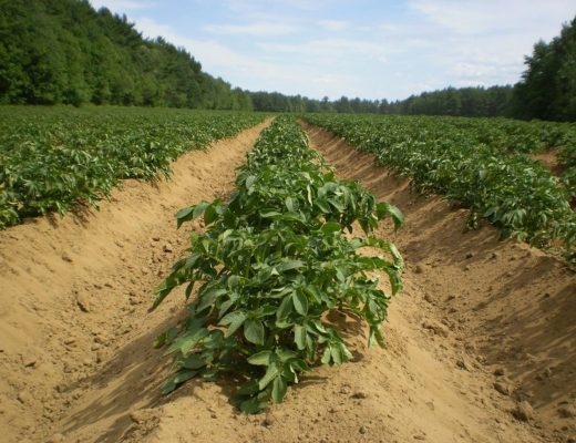 how to cultivate potatoes