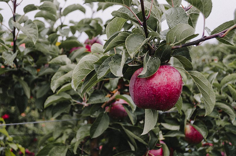 Planninf apple cultivation. Photo by Kelly Sikkema on Unsplash