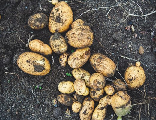 Potato crop production