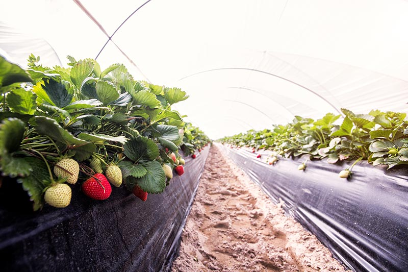 Mulching plastics for strawberry cultivation