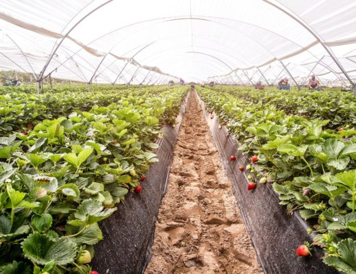 Strawberries under plastic tunnels