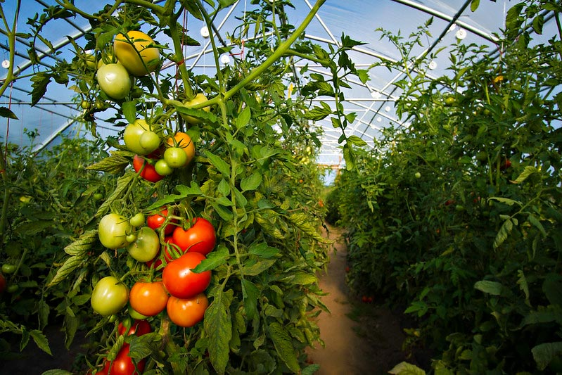 """Photo by Mizzou CAFNR """"Tomatoes high tunnel Southwest Research Center"""". License by CC. https://bit.ly/2QGWICS"""