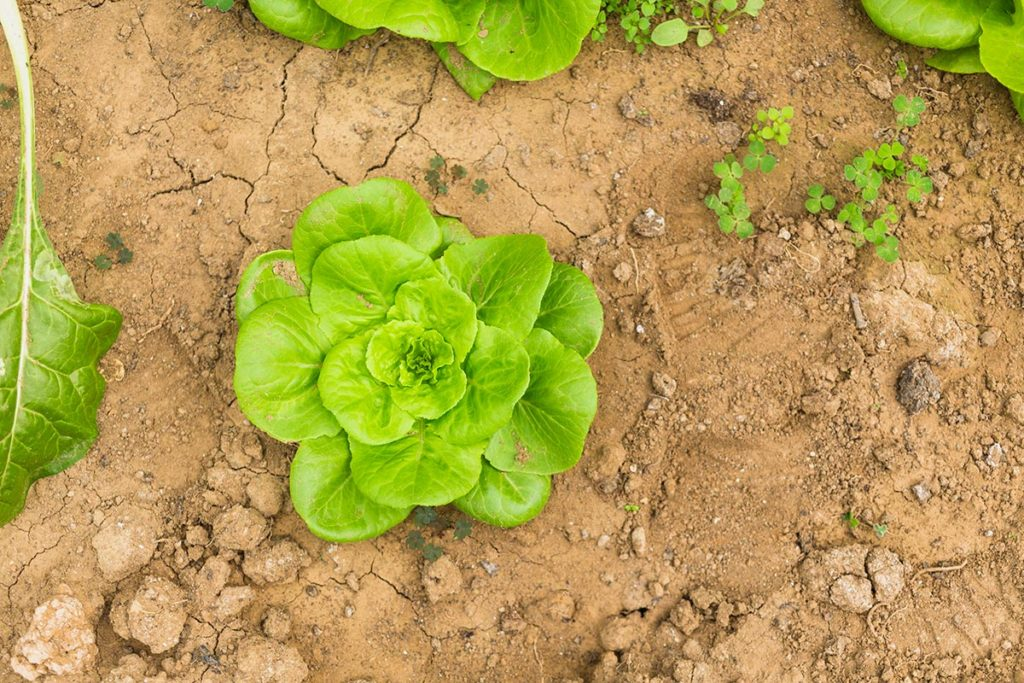 Growing lettuce in winter with high tunnels. Designed by Freepik